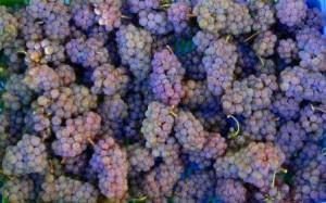 Sauvignon Gris grapes 300x187 Sauvignon Gris Wine Grapes, Flavor, Character, History