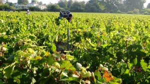 2011 Bordeaux Malartic pickers2 300x168 2011 Malartic Lagraviere Harvest is Atypical, says Jean Jacques Bonnie