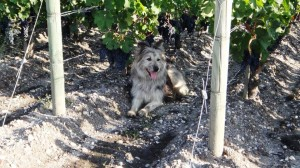2011 Bordeaux malartric dog 300x168 2011 Malartic Lagraviere Harvest is Atypical, says Jean Jacques Bonnie