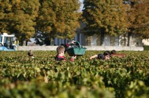 2011 La Conseillante harvest 300x199 2011 La Conseillante Jean Michel Laporte calls Harvest Opposite of Normal