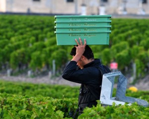 2011 Margaux Harvest 300x239 2011 Chateau Margaux Harvest Report from Paul Pontallier