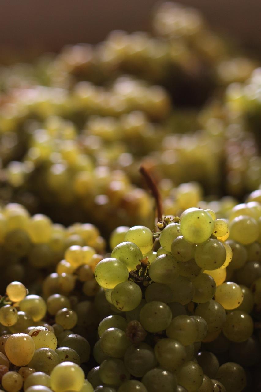 sauvignon grise grape variety loire