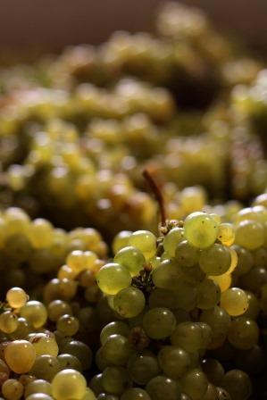 Chardonnay Wine Grapes1 Chardonnay Wine Grapes, Flavor, Character, History, Wine Food Pairings