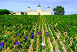 Cos dEstournel 2011 Bordeaux harvest 300x203 2011 Cos dEstournel Bordeaux Harvest, Earliest since 1893 says Prats!
