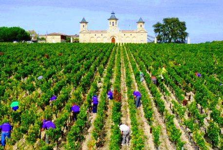 Cos d'Estournel 2011 Bordeaux harvest