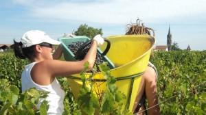 Gombaude Guillot 2011 harvest 300x168 2011 Bordeaux Harvest Biodynamic Estates Picking in Pomerol
