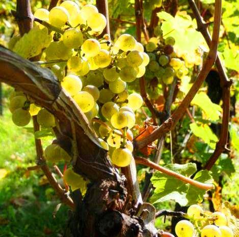 2010 German Vintage a Freak Year for Wine! 2010 Riesling 2009 Spätburgunder