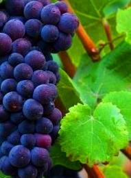 pinot noir Pinot Noir Wine Grapes, Flavor, Character, History, Wine Food Pairings