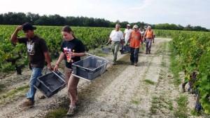 2011 Bordeaux Malartic Harvest 300x168 2011 Malartic Lagraviere Harvest is Atypical, says Jean Jacques Bonnie