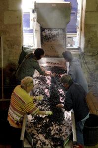 2011 Clos des Jacobins sorting 199x300 2011 Clos des Jacobins Harvest a sorting vintage in St. Emilion