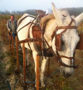 Liber horse 275x300 2011 Bordeaux Harvest Liber Pater, 10 hl/ha Yields in Graves