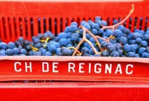 REIGNAC 2011 Grapes11 300x204 2011 Reignac Harvest Demands Intense Sorting