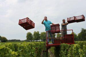 Reignac Bordeaux harvest 300x200 2011 Reignac Harvest Demands Intense Sorting