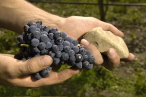 St. Laurent 300x199 St. Laurent, Austria's Rare, Red, Wine Grape Treasure