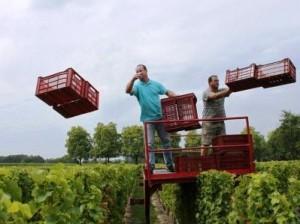 Reignac during Bordeaux harvest 300x224 Chateau Reignac, Great Value Bordeaux Wine Producer