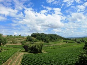 French Vineyard 300x224 French Wine Classifications AOC Law Wine Grapes Vineyards of France