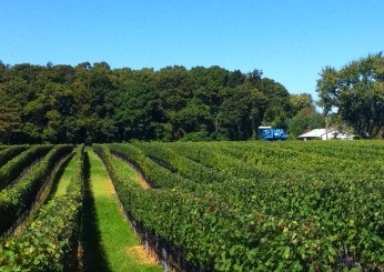 machine harvesting in vineyard