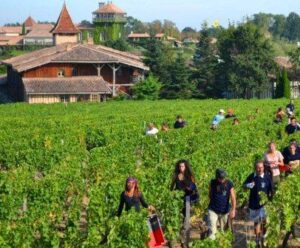 smith harvest 2012 300x248 2012 Bordeaux White Wine Harvest Over, Red Wine Grapes Still Not Ripe
