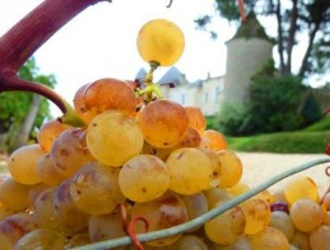 yquemgrapes 300x228 2012 Bordeaux White Wine Harvest Over, Red Wine Grapes Still Not Ripe