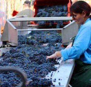 2012 Giscours 300x288 2012 Bordeaux Harvest, Margaux, St. Julien, Pauillac, St. Estephe News
