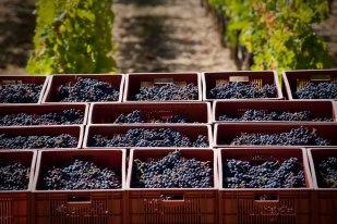 2012 Haut Brion harvest 2012 Bordeaux Harvest Pessac Leognan News Updates