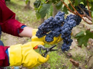 2012ChateauBrown harvest 300x222 2012 Bordeaux Harvest Chateau Brown Great Potential for White Wine