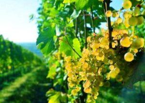 German Wine Vineyard 300x212 2011 German Wine Report Berlin Riesling Cup Tasting