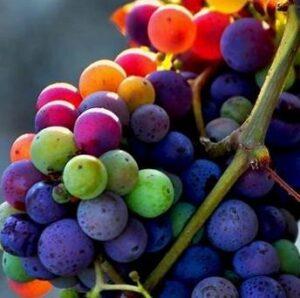 Grapes colors 300x298 2012 Bordeaux Harvest, Margaux, St. Julien, Pauillac, St. Estephe News