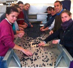 2012 ClosDubreuil harvest 300x280 2012 Clos Dubreuil Bordeaux Harvest Favors Merlot