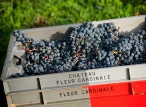 2012 fleur Cardinale grapes 300x219 Wine of the Week 2005 Fleur Cardinale St. Emilion