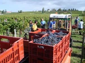LeDome harvest 20121 300x224 2012 Le Dome Bordeaux Harvest is long for Jonathan Maltus