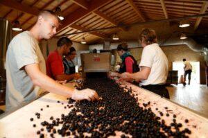 2012 fonplegade sorting 300x199 2012 Fonplegade St Emilion Small Ripe Berries Jean Christophe Meyrou