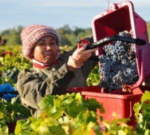 2012 giscours harvest 300x270 2012 Giscours Margaux Vintage Harvest Interview Alexander van Beek