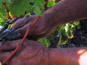 Mouton Vines close up 300x224 2012 Clerc Milon Low Yields in Pauillac Jean Emmanuel Danjoy Interview