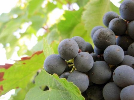 2011-Bordeaux-Harvest-Merlot