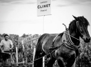 2012 Clinet Harvest Horse 300x222 2012 Clinet Ronan Laborde Interview on Pomerol the Vintage and Harvest