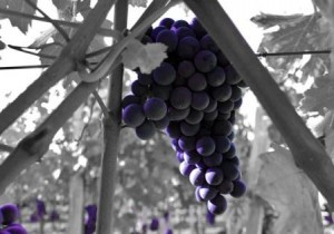 2012 Troplong Mondot harvest grape1 300x210 2012 Troplong Mondot Similar Conditions to 2008 in St. Emilion