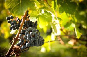 Bordeaux Grapes Vineyards 300x199 Bordeaux Wine Production, Facts, Figures, Grapes, Vineyards