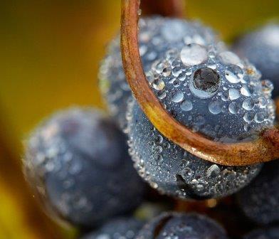 Grapes wet on vines Chateau Lusseau St. Emilion Bordeaux, Complete Guide