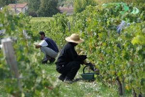 2011 Bordeaux Harvest 1 300x200 Chateau Pibran, Pauillac, Bordeaux, Complete Guide
