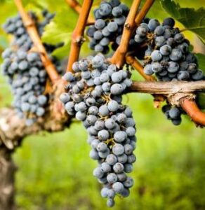 Bordeaux Grapes in vineyard 292x300 Bordeaux Value Wine, Petit Chateau and Appellation Guide