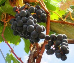 Cotes de Blaye2 300x258 Cotes de Blaye Complete Guide, Best Wines, Vineyards, Top Chateaux