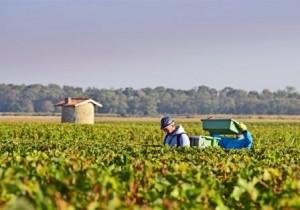 2012 Bordeaux harvest grape picking