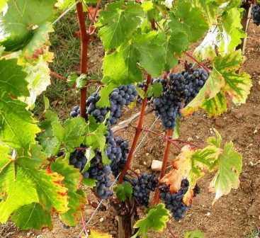 Alban Vineyards