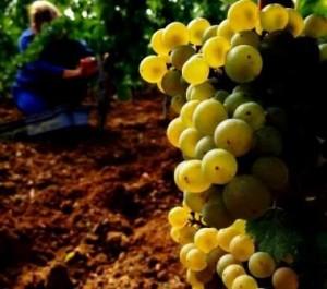 Bordeaux Chardonnay