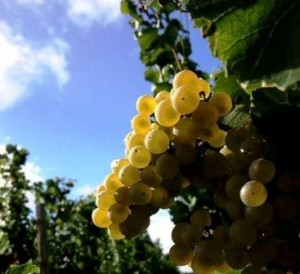 Clos Dubreuil Chardonnay 300x274 With 2013 Chardonnay in Bordeaux is Being Produced in The Right Bank