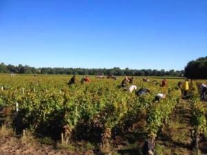 2013 Bordeaux Harvest 300x225 2013 Bordeaux Vintage Report and Harvest Summary