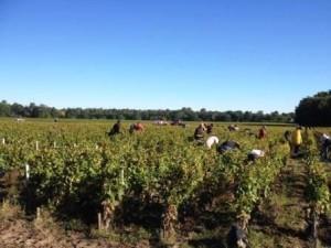 2013 Domaine de Chevalier White Wine Harvest