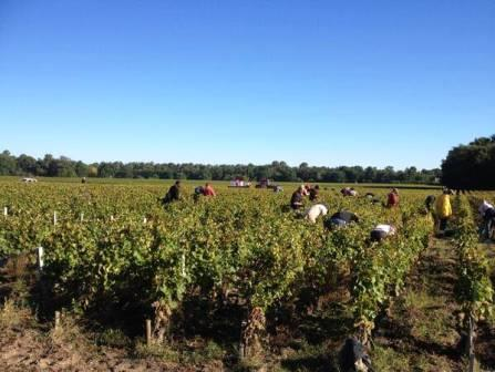 2013 Domaine de Chevalier White Wine Harvest 2013 Domaine de Chevalier White Wine Harvest Olivier Bernard Interview