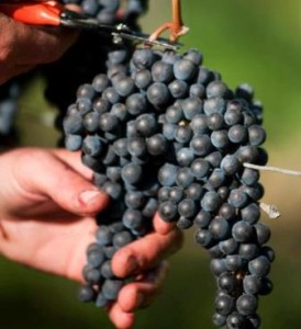 Grape Harvest 274x300 Rhone Valley Wine Guide Cote Rotie Hermitage Chateauneuf du Pape Wine